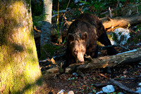 Brown & black bears / Orsi bruni & neri